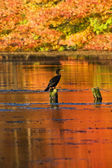 Reflection of Autumn Colors and Cormorant — Stock Photo