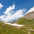 Grazing Sheep Herd — Stock Photo