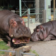 Hippos — Stock Photo #25067667