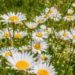 Big and beautiful chamomile close-up — Stock Photo