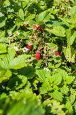 Strawberry bush with berries and flowers — 图库照片