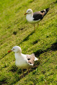 SEAGULLS IN A PARK — Stock Photo