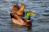 A couple of Wild Ducks in a lake — Stock Photo