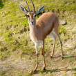 African Gazelle — Stock Photo