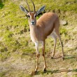 African Gazelle — Stock Photo #39506023