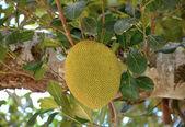 Jackfruit on the tree — Stock Photo