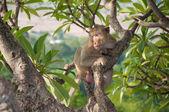 Monkey (Macaque rhesus) sitting on tree — Stock Photo