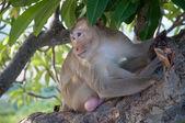 モンキー (サル アカゲザル) 木の上に座って — ストック写真