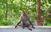 Monkey (Macaque rhesus) sitting on Wall cement — Stock Photo