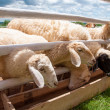 Group of sheep in farm — Foto de Stock