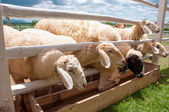 Group of sheep in farm — Stock Photo
