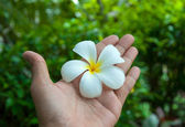 White frangipani flowers on hand with leaves in background — Stock Photo
