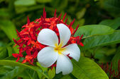 White frangipani flowers on red Ixora with leaves in background — Stock Photo