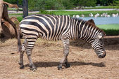 Zebra in safari — Stock Photo