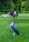 Marabou Stork in zoo — Stock Photo
