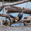 Crowned Crane birds — Stock Photo