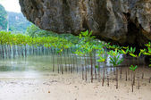 Mangroves in Green water at beach — Stock Photo