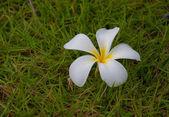Frangipani flowers on green grass — Stock Photo