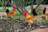 Bantam walking on park. — Stock Photo