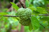 Custard apple tree on a green background in garden — Stock Photo