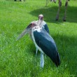 Marabou Stork in zoo — Stock Photo