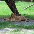 Lion sleep under a tree — Stock Photo