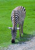 Zebra v safari — Stock fotografie