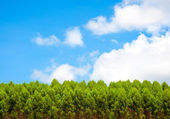 Pine trees green and blue sky with clouds — Stock Photo