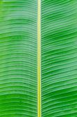 Green leaves of banan — Stock Photo