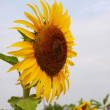 Stock Photo: Sun flower in farm.