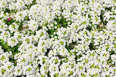 Jardín de flores blanca — Foto de Stock