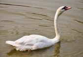 Witte zwaan in het water — Stockfoto