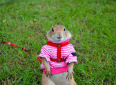 Prairie dog on lawn in summer — Stock Photo