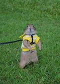 Prairie dog on lawn in summer. — Stock Photo