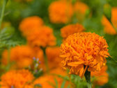 Marigold flower with leaf background — Stock Photo