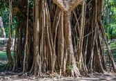 India-rubber boomwortels groeien — Stockfoto