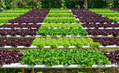 Organic hydroponic vegetable cultivation farm — Stock Photo
