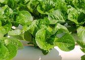 Organic hydroponic vegetable cultivation farm — Stock Photo