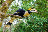 Great hornbill stand on the branch in forest — Stok fotoğraf