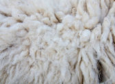 Woolly sheep fleece for background — Stock Photo