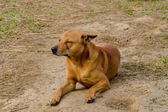 Stray dog is breed native in Thailand — Foto Stock