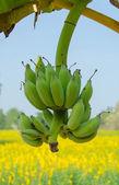 Kilka świeżych zielonych bananów na drzewie — Zdjęcie stockowe