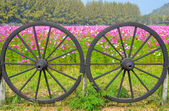 Cartwheel and Cosmos colorful flower in the field — Stock Photo