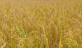 Golden paddy rice field ready for harvest — Stock Photo