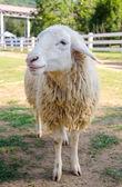 Closeup of long wool sheep on the farm — Stock Photo