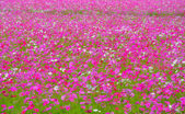 Cosmos colorful flower in the field — Stock Photo
