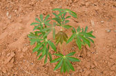 Row of cassava tree in field. — Stock Photo