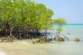 Mangrove trees and roots on the beach. — Stock Photo