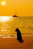 Dog on beach looking sunset — Stock Photo