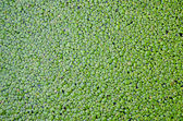 Duckweed covered on the water surface for background — Stock Photo